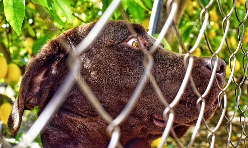 Close up portrait of Caged cute Labrador dog royalty free stock photos