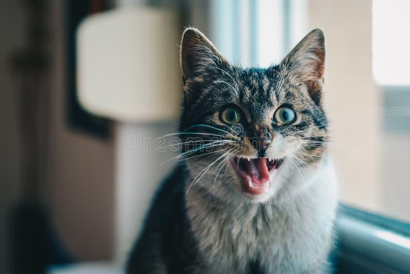 Close-up Portrait Of Cat Yawning Free Public Domain Cc0 Image