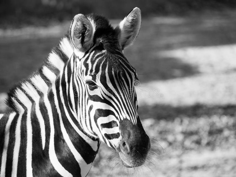 Close-up portrait of Chapman`s zebra in black and white royalty free stock photo