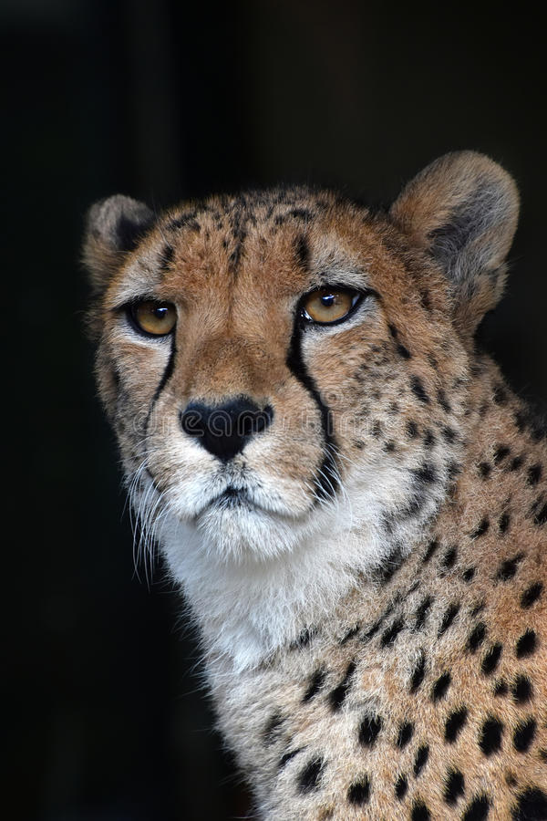 Close up portrait of cheetah over black stock images