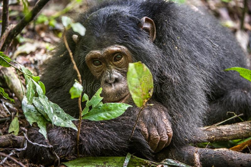 Close up portrait of chimpanzee ( Pan troglodytes ) resting in the jungle. Natural habitat. Kibale forest in Uganda royalty free stock images