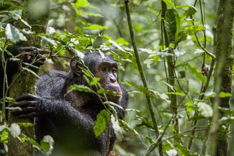 Close up portrait of chimpanzee ( Pan troglodytes ) resting in the jungle. Natural habitat. Kibale forest in Uganda royalty free stock photo