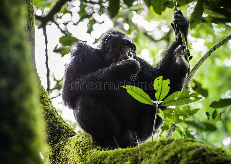 Close up portrait of chimpanzee ( Pan troglodytes ) resting on the tree. In the jungle. Kibale forest in Uganda stock photos
