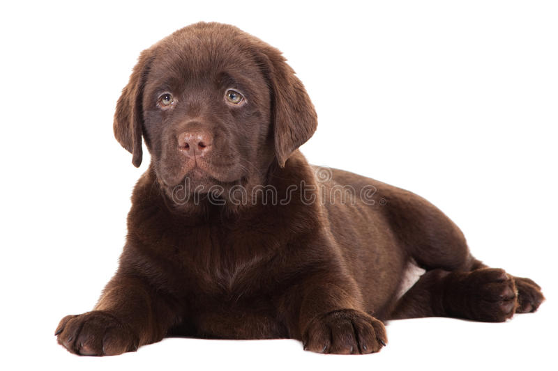 Download Close-up Portrait Of Chocolate Retriever Puppy Stock Image - Image: 24899371