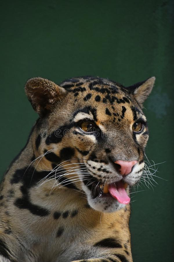 Close up portrait of clouded leopard royalty free stock images