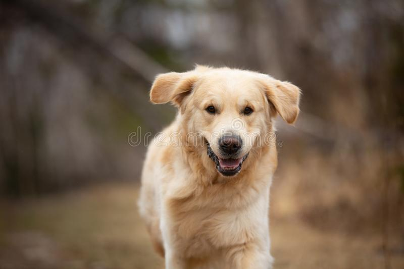 Crazy, cute and happy dog breed golden retriever running in the forest and has fun at sunset. Close-up Portrait of Crazy, cute and happy dog breed golden stock photography
