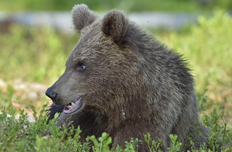 The close up portrait of cub of wild brown bear Ursus arctos. In a summer forest. Springtime in the forest royalty free stock images