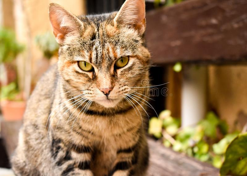 Close up of a portrait of a curious sitting cat in relax position on a bench at the garden. Portrait of a curious sitting cat in relax position on a bench at the royalty free stock image
