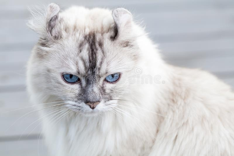 Close up portrait of cute American Curl cat royalty free stock image