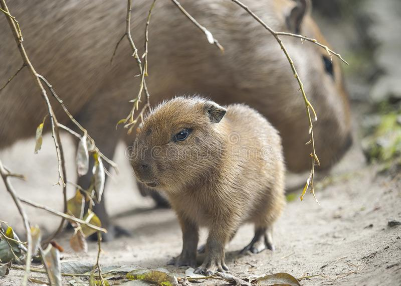 Close up portrait of a cute baby capybara Hydrochoerus hydrochaeris with mother in the zoo, selective focus stock photo
