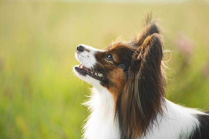Gorgeous papillon dog standing in the field in fall. Profile portrait of Continental toy spaniel outdoors. Close-up Portrait of cute and beautiful papillon dog stock photos