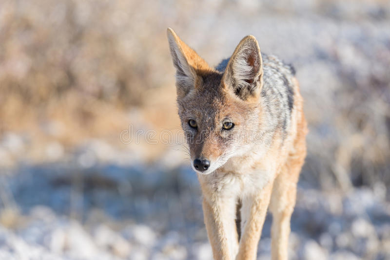Close up and portrait of a cute Black Backed Jackal walking in the bush. Wildlife Safari in Etosha National Park, the main travel royalty free stock images