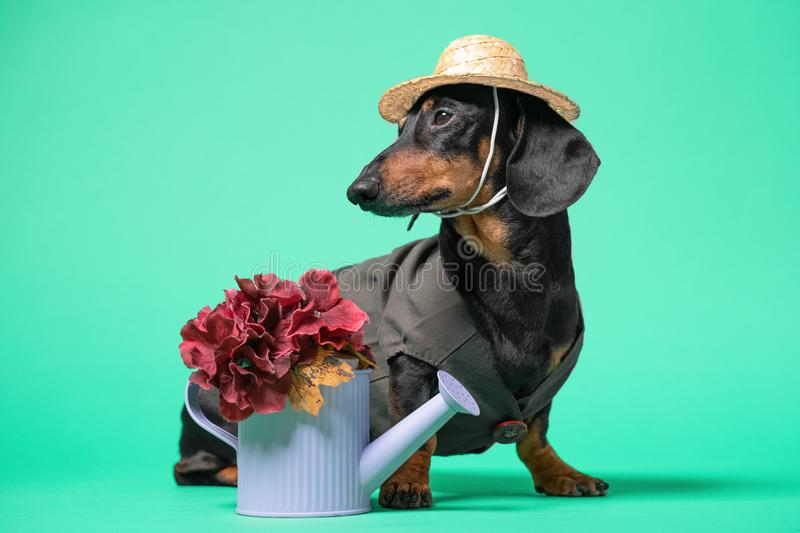 Close up portrait of cute black and tan dachshund in hat and dark green dress, with watering can and flowers. Gardening concept. royalty free stock photography