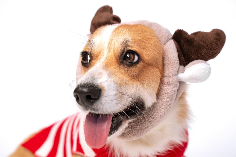 Close up portrait of cute corgi dog wearing funny hat with deer horns and red and white costume stock photos