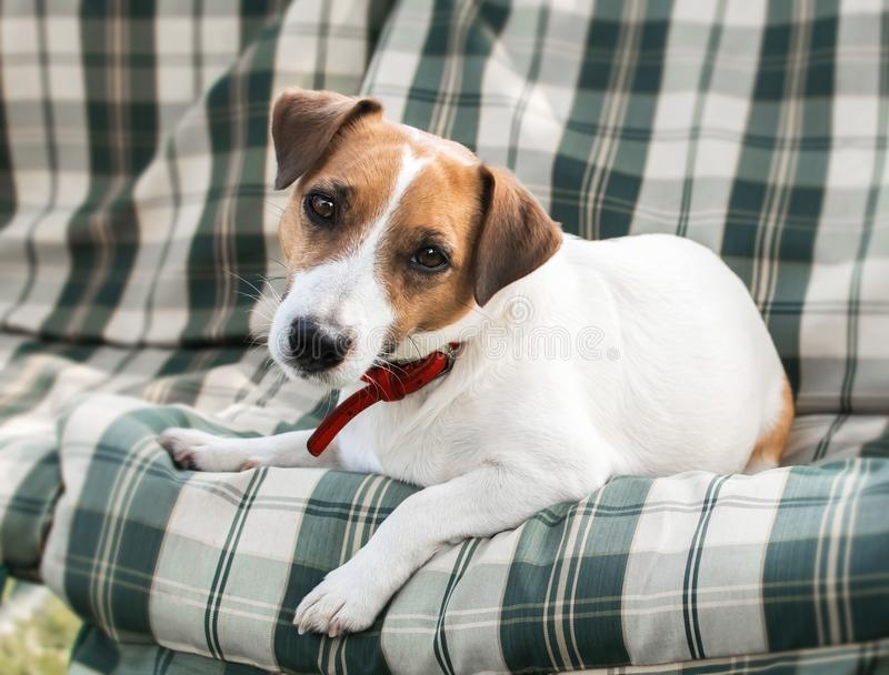 Close-up portrait of cute dog Jack russell lying on with green checkered pads or cushion on Garden bench or sofa outside at sunny stock image