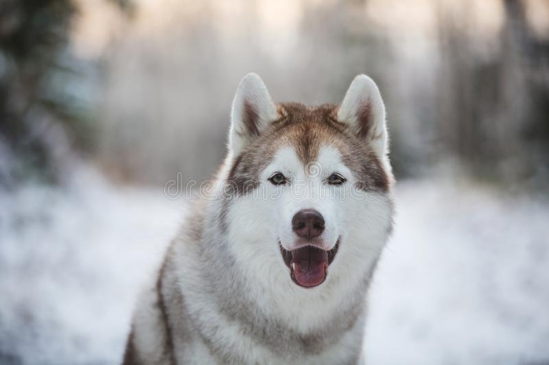 Close-up portrait of cute, happy and free siberian Husky dog sitting in the winter forest royalty free stock images