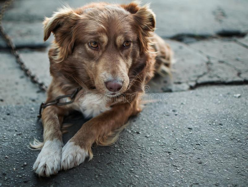Close-up portrait of cute sad or unhappy chained brown or red dog lying or resting on old village yard. Emotions and feelings of d. Og, hurt and sadness royalty free stock images