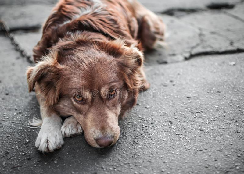 Close-up portrait of cute sad or unhappy chained brown or red dog lying or resting on old village yard. Emotions and feelings of d. Og, hurt, sadness, loneliness royalty free stock image