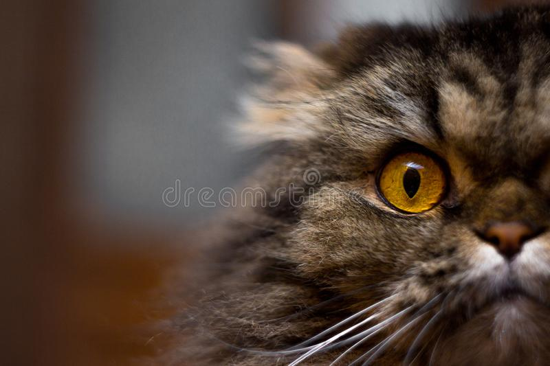 Close up portrait of cute serious gray cat with big orange eyes looking at camera, half of cat face royalty free stock images