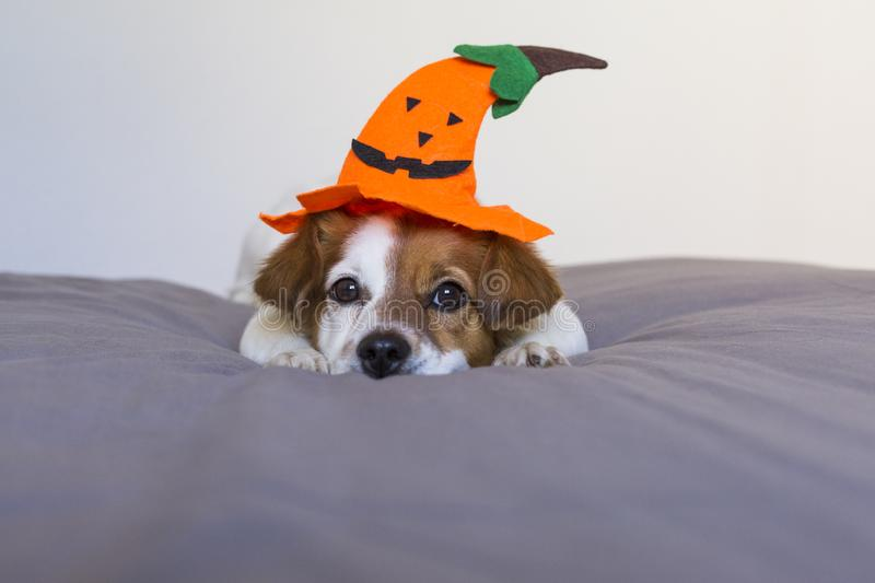 Close up portrait of a cute young small dog lying on bed with a halloween costume and decoration. Pets indoors. Haunt, humor, joke, animal, monster, terror royalty free stock images