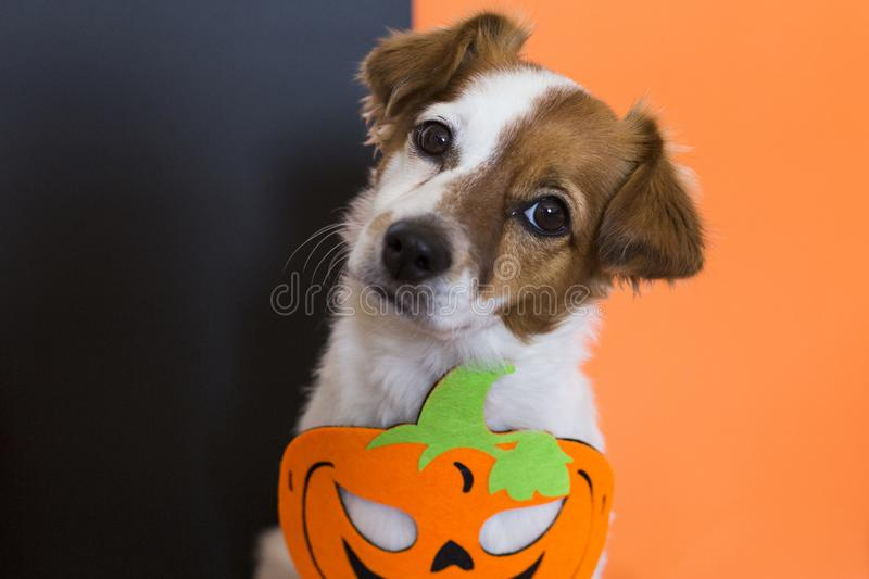 Close up portrait of a cute young small dog lying on on the wood floor with a halloween costume and decoration. Pets indoors. Orange and black background royalty free stock photography