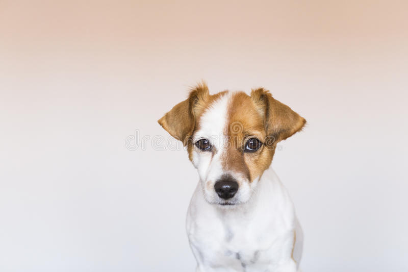 close up portrait of a cute young small dog over white background looking at the camera. Pets indoors. Love for animals concept. stock photography