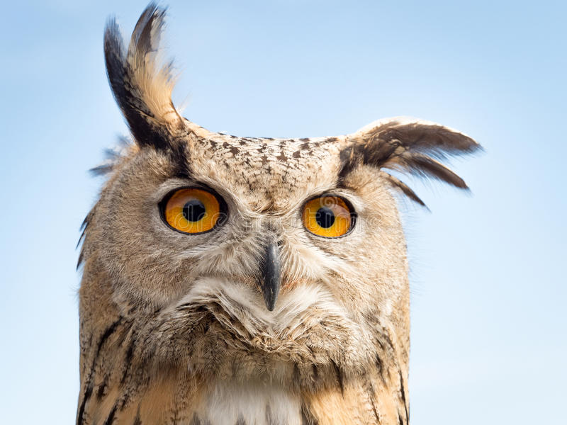 Close up portrait of an eagle owl Bubo bubo against blue sky w. Ith yellow and big eyes and a funny expression royalty free stock photo