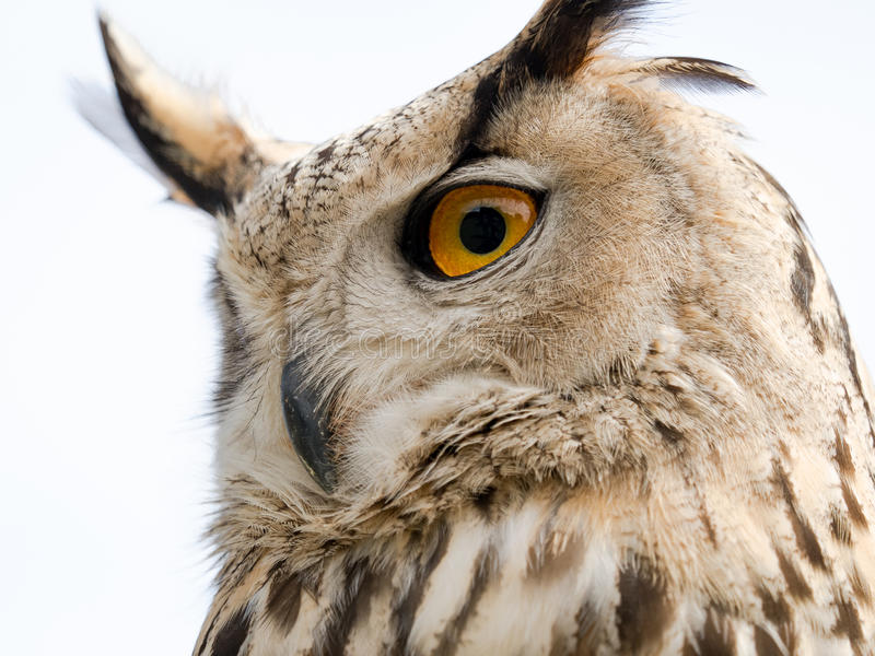 Close up portrait of an eagle owl Bubo bubo isolated on white royalty free stock image
