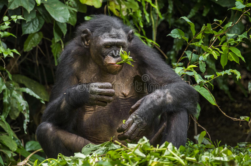 The close up portrait of eating old female Bonobo in natural habitat. Green natural background. Democratic Republic of Congo. Africa royalty free stock photo