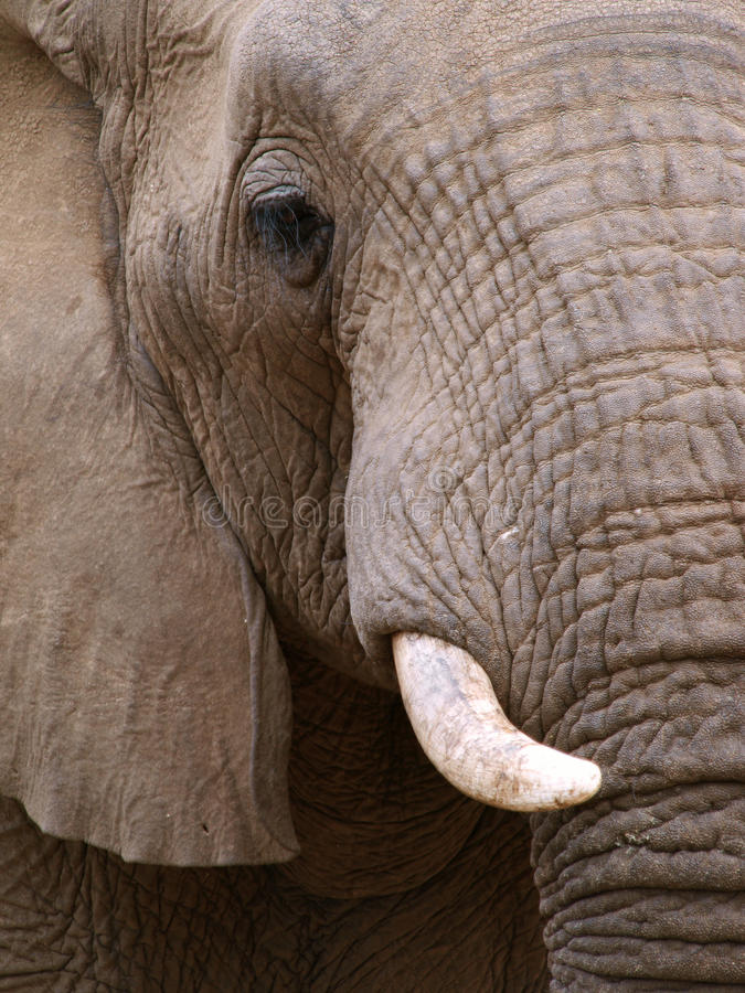 Download Close Up Portrait Of An Elephant Stock Image - Image of tusk, park: 10965315
