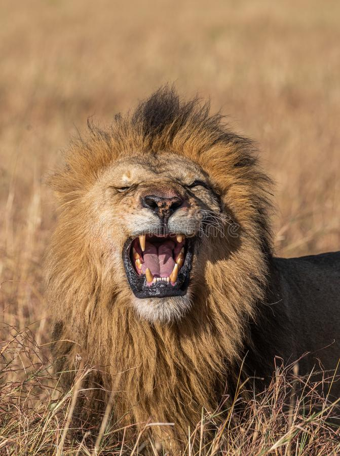 Close up Portrait of Elewana or Sand River Male Lion, Leo panthera, Yawning. With Tall Grass Landscape in Background royalty free stock photo