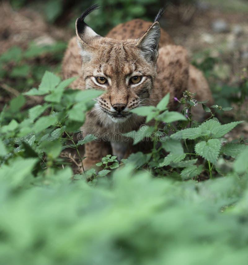 Close-up Portrait Of An Eurasian Lynx Stock Image