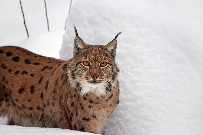 Close up portrait of Eurasian lynx in winter snow. Close up upper body portrait of Eurasian lynx standing in deep winter snow and looking at camera alerted, low royalty free stock photos