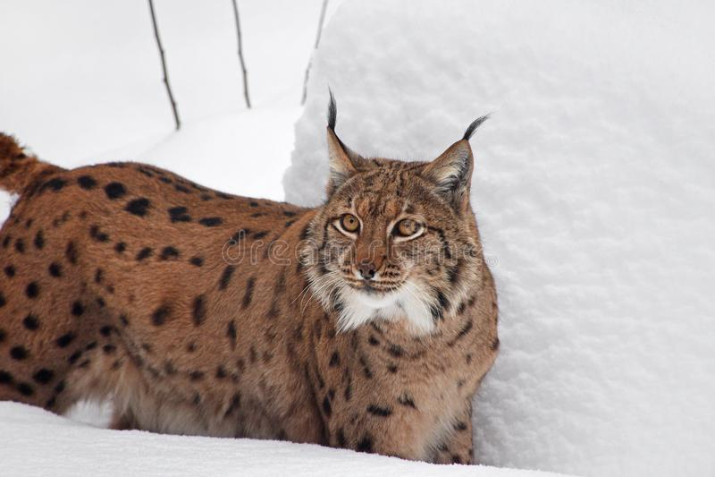 Close up portrait of Eurasian lynx in winter snow. Close up upper body portrait of Eurasian lynx standing in deep winter snow and looking at camera alerted, low stock photography