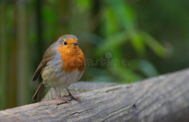 Robin Red Breast Bird Portrait. A close up portrait of a European robin redbreast bird in the UK with the subject to the left and space to the right of the image royalty free stock images
