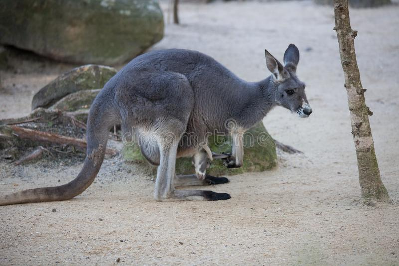 Close up portrait famale Kangaroo with cute joey hiding inside the pouch. Australia. stock images