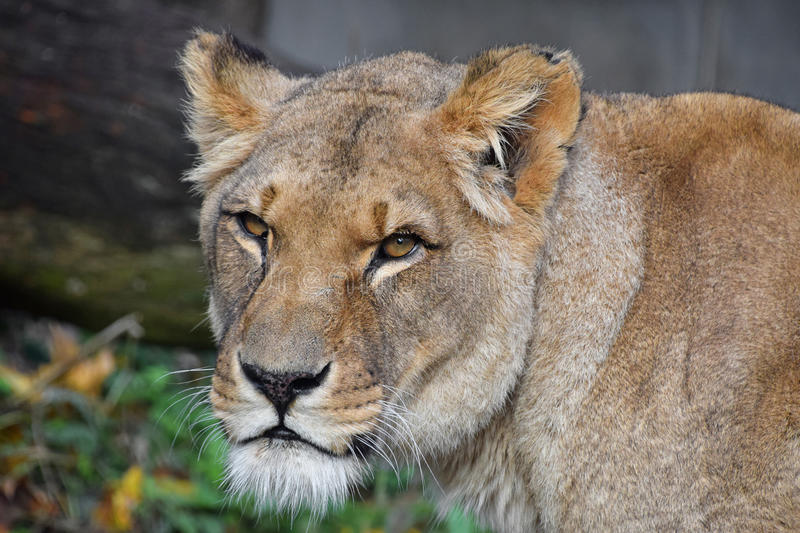 Close up portrait of female African lioness. Close up portrait of beautiful mature female African lioness looking at camera, low angle view stock photography