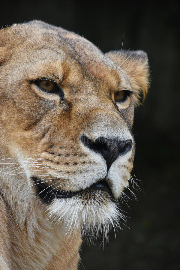 Close up portrait of female African lioness. Face to face, close up portrait of beautiful mature female African lioness looking aside of camera over dark royalty free stock photo