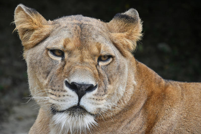 Close up portrait of female African lioness. Face to face, close up portrait of beautiful mature female African lioness looking at camera, low angle view stock photography