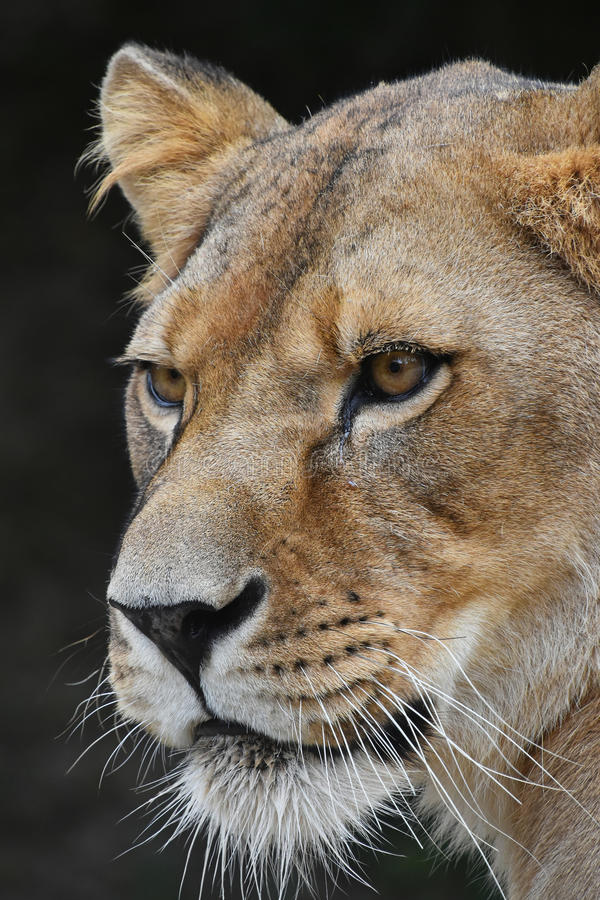 Close up portrait of female African lioness. Close up side profile portrait of beautiful mature female African lioness looking away over dark background, low stock images