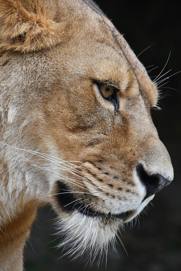 Close up portrait of female African lioness. Close up side profile portrait of beautiful mature female African lioness looking away over dark background, low stock image
