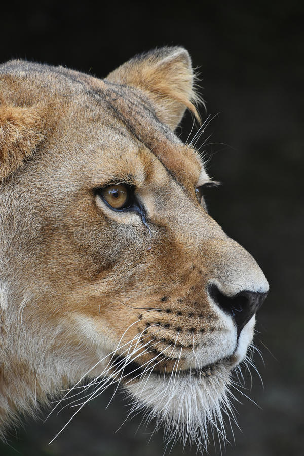 Close up portrait of female African lioness. Close up side profile portrait of beautiful mature female African lioness looking away over dark background, low royalty free stock photography