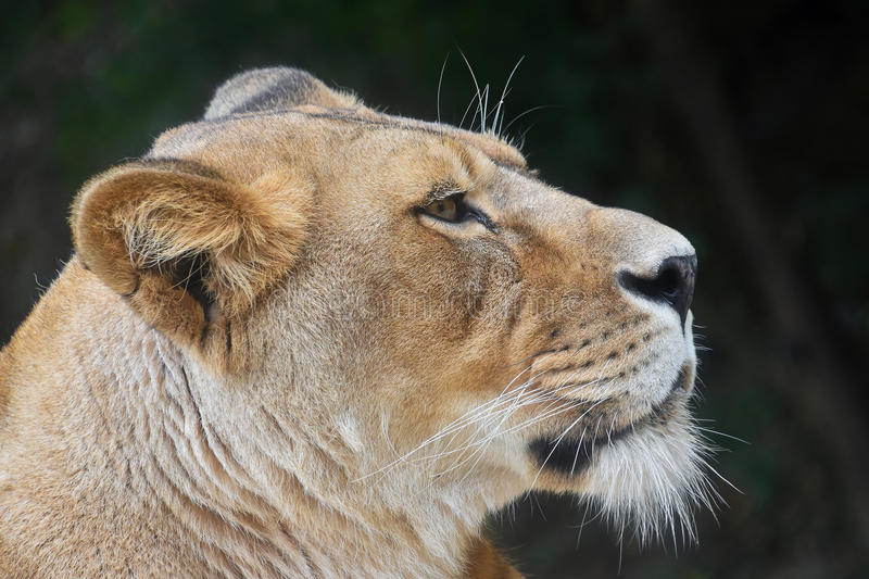 Close up portrait of female African lioness. Close up side profile portrait of beautiful mature female African lioness looking away over dark green background stock photos