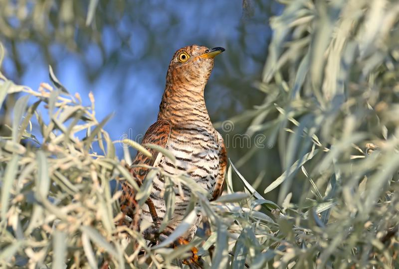 Close-up portrait of a female cuckoo stock image