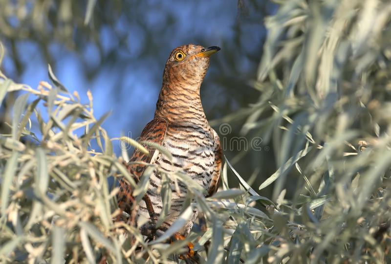 Close-up portrait of a female cuckoo royalty free stock photography