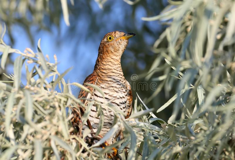 Close-up portrait of a female cuckoo royalty free stock photos