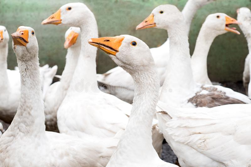 Close up portrait of flocks of geese on green grass stock photo