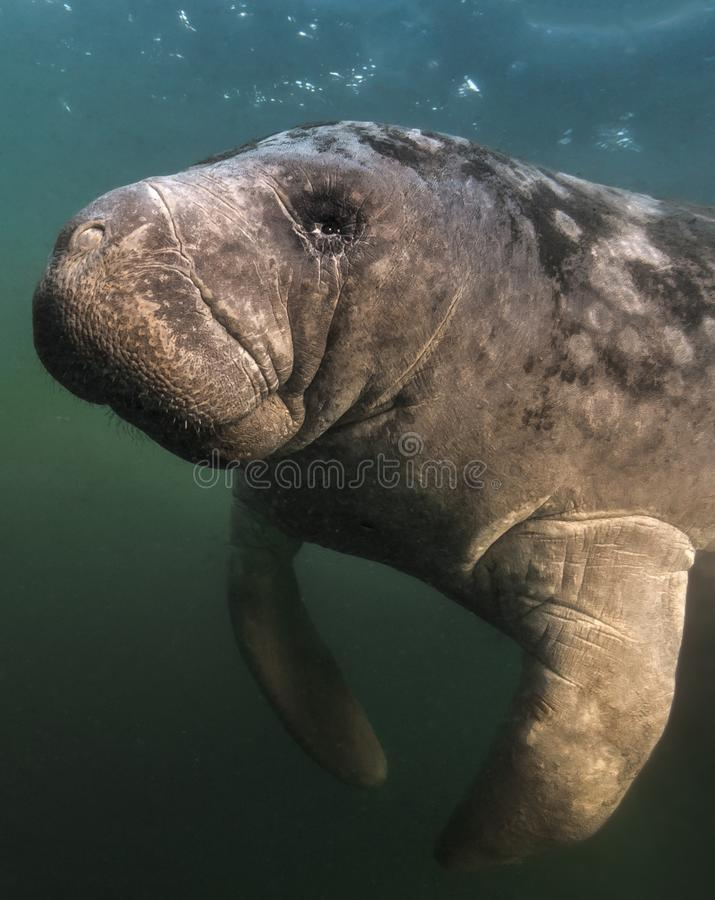 Close-up Portrait Florida Manatee. Gentle, serene and adorable. During the winter, Manatees gather near the warm fresh water springs near the coast to stay warm stock photos