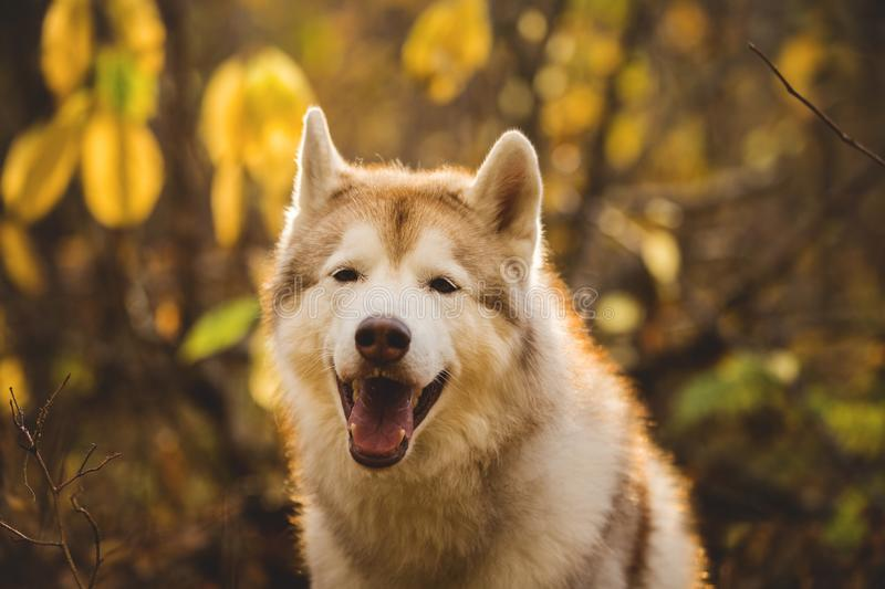 Close-up Portrait of free and beautiful Beige Siberian Husky on a forest background in golden autumn season royalty free stock photo