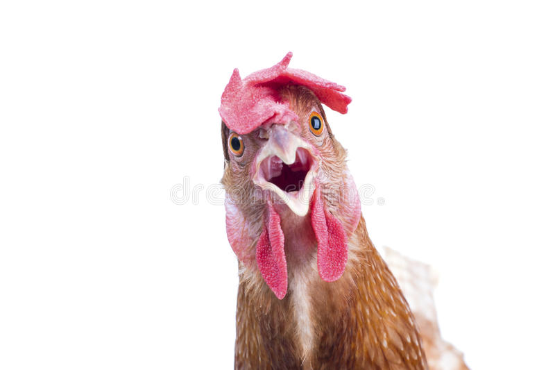 Close up portrait full body of brown female eggs hen standing sh royalty free stock images